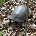 blandings turtle Don Snyder