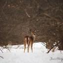 deer jamie