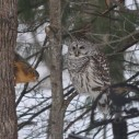 kelley holzwarth barred owl