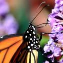monarch3