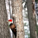 terese chandler pileated and downy