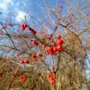 winter berries Phil Kirkham