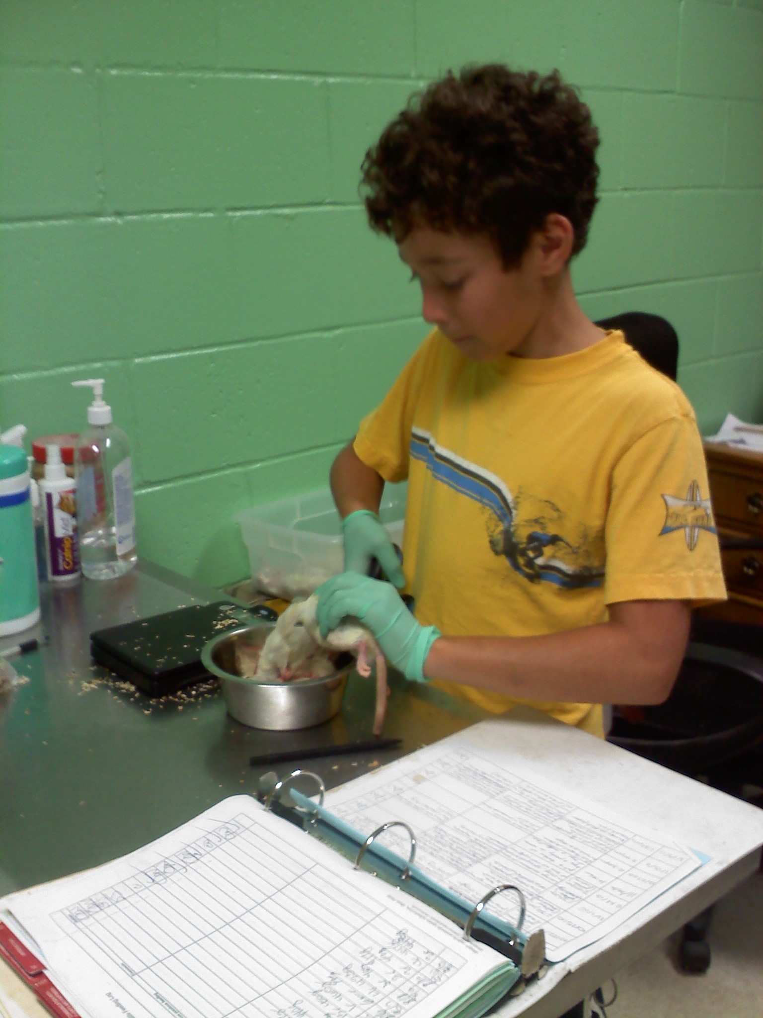 child dissecting a rat