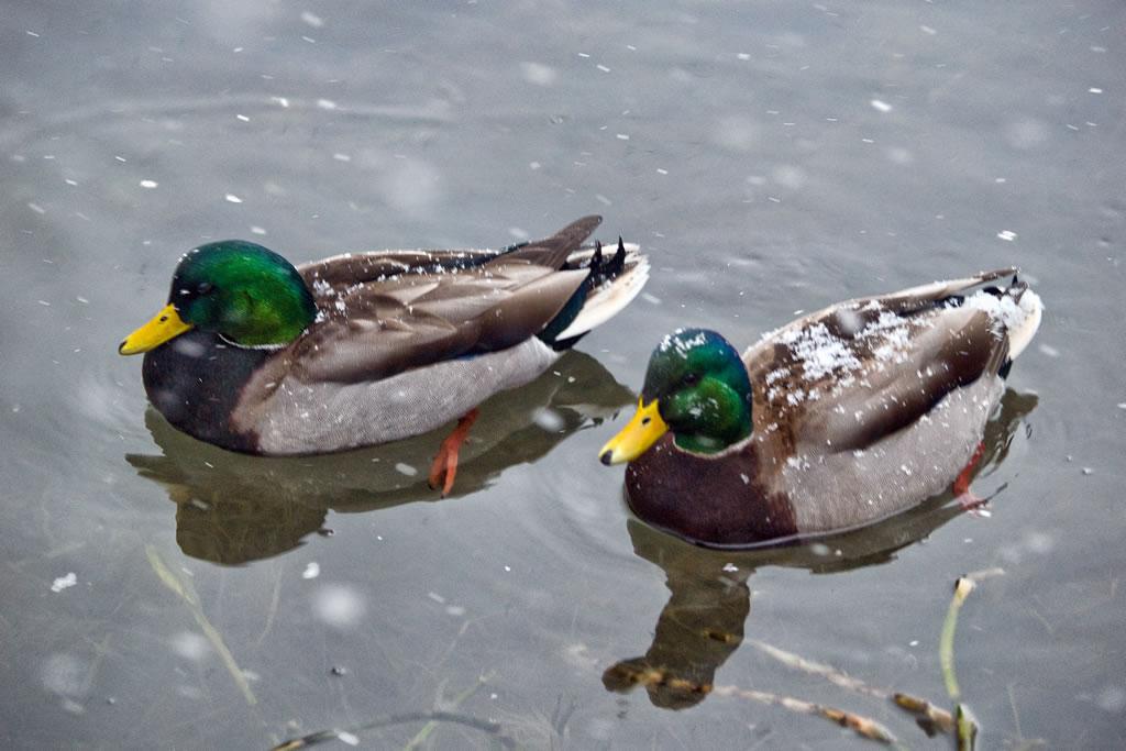 Blandford Nature Center Ducks on pond