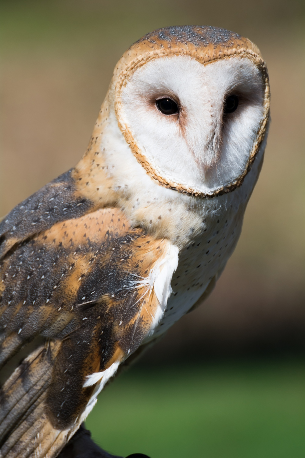 luna the barn owl
