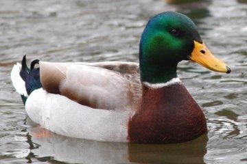 mallard-duck0-1