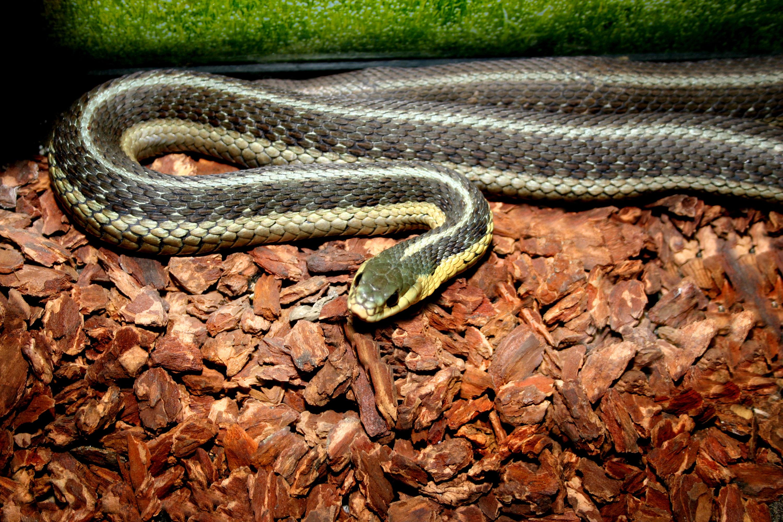 Garter Snake, Wildlife, Wildlife Resident