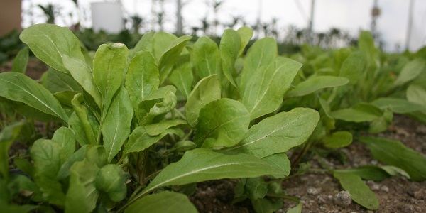Winter arugula