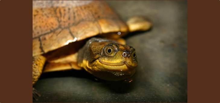 Morla the painted turtle