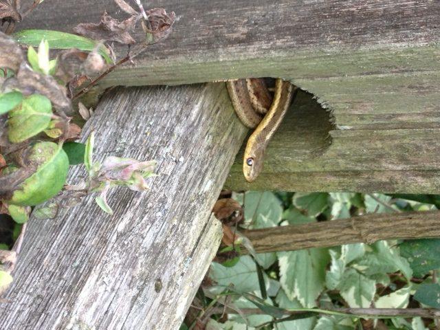 snake on split rail