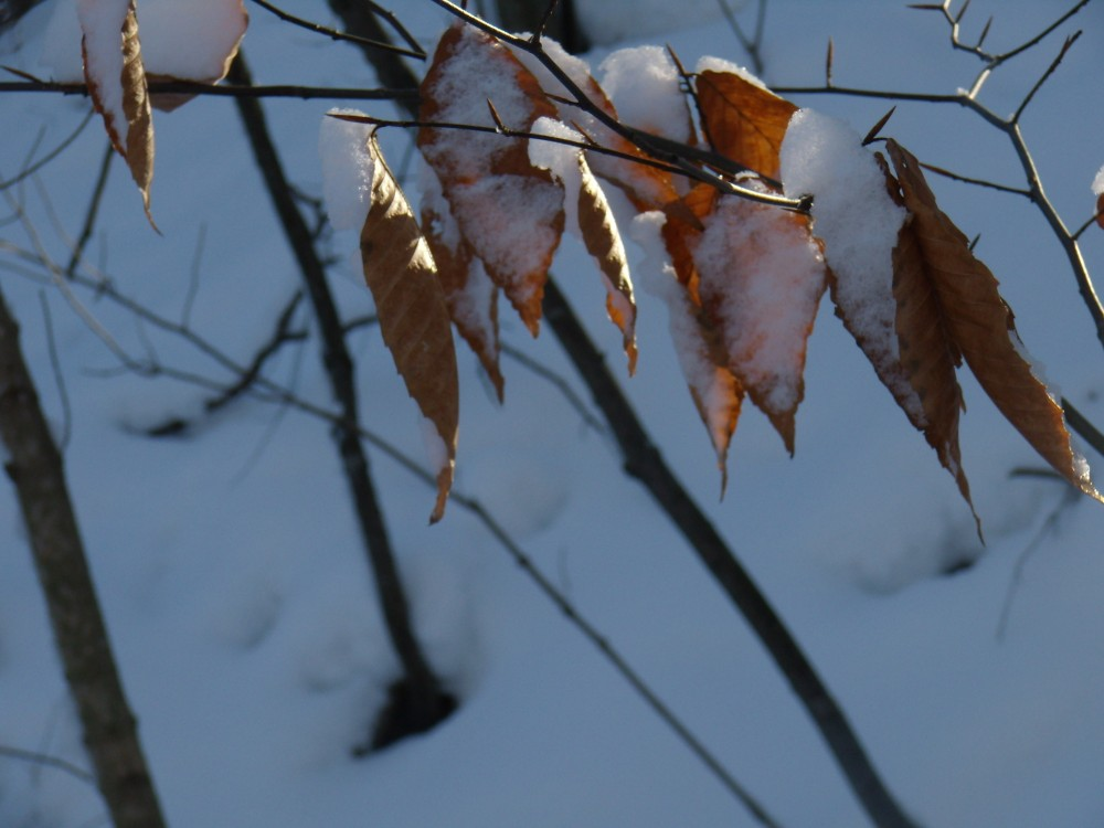 sunrise on a snowy tree leaf