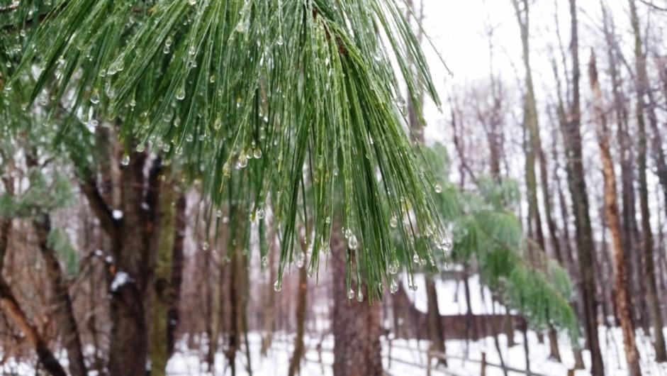 frozen drops on a pine tree
