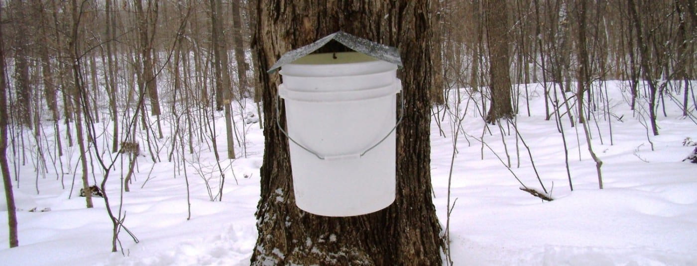 sugaring a maple tree