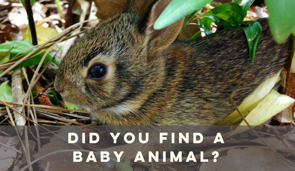 did you find a baby animal?