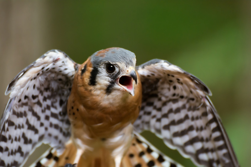 falco the falcon