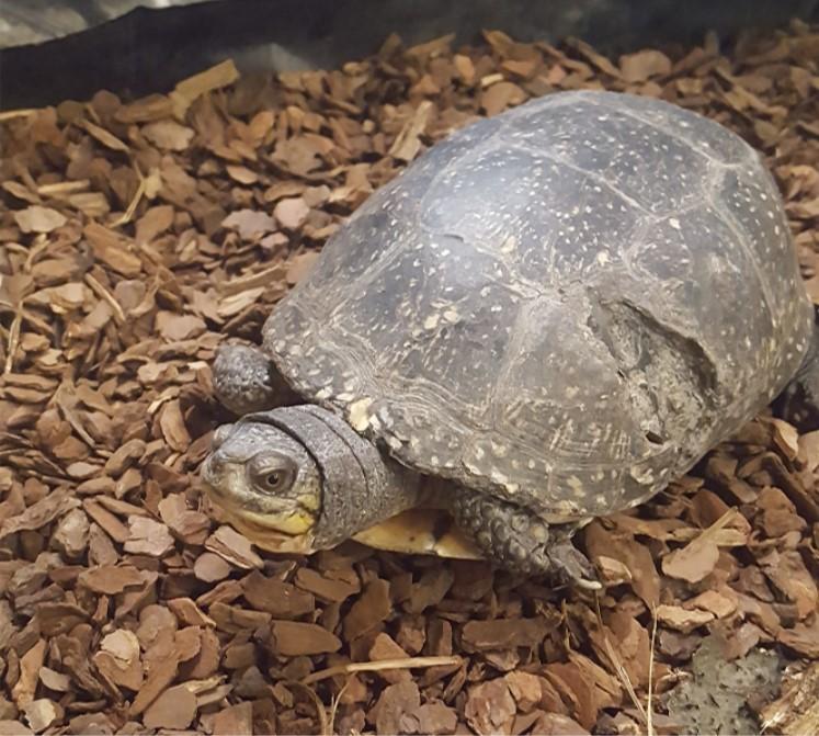 Bernadetet the Box turtle