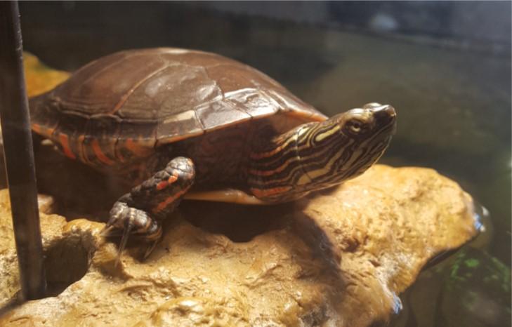 Leonardo (painted turtle)