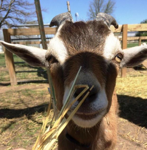 FARM   Say Hello! Goat Says Maa