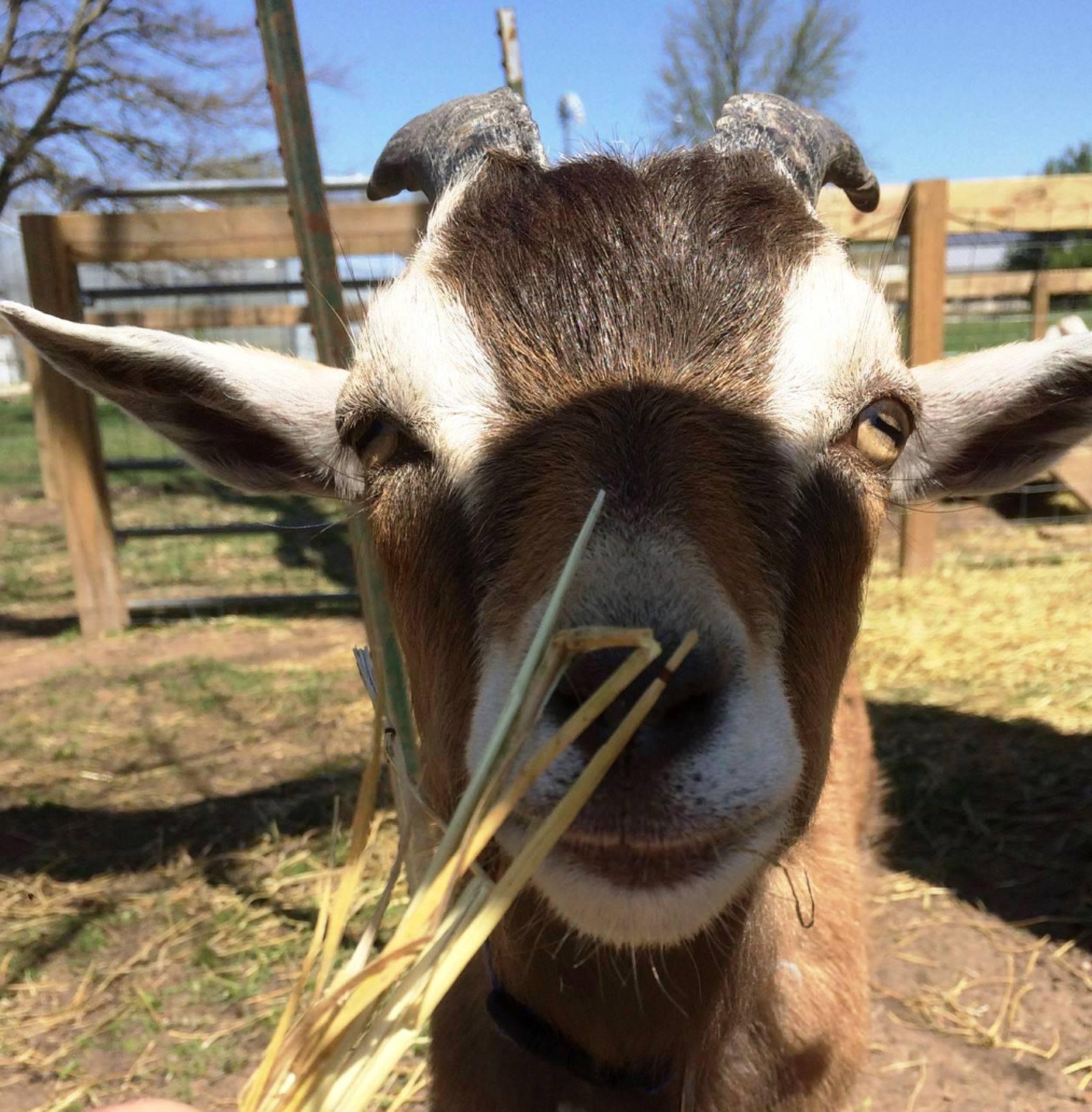 Gimli the goat