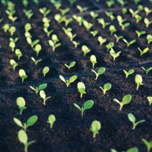 seedlings sprouting organic farm