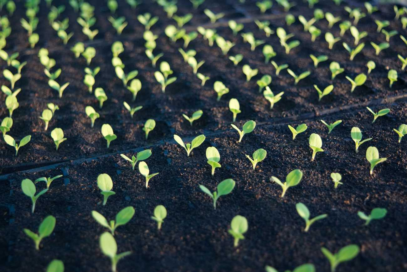 seedlings sprouting organic farm