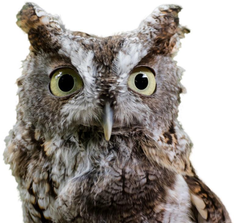 Dr. Whoo Screech Owl