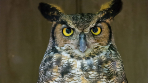 All About Owls (Grandparent Edition)