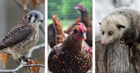 Poultry & Predators